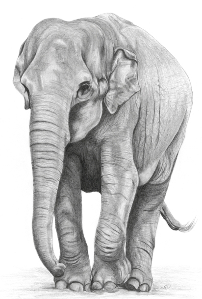 Indian elephant 1