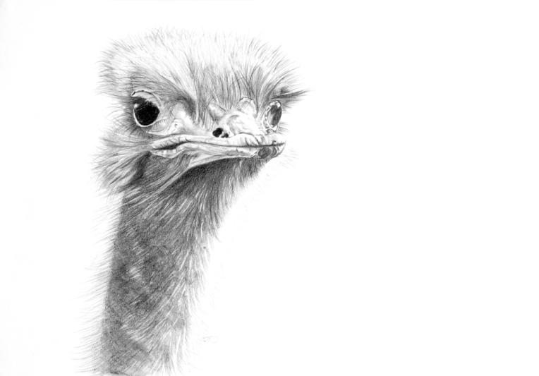 _DSC6084 ostrich