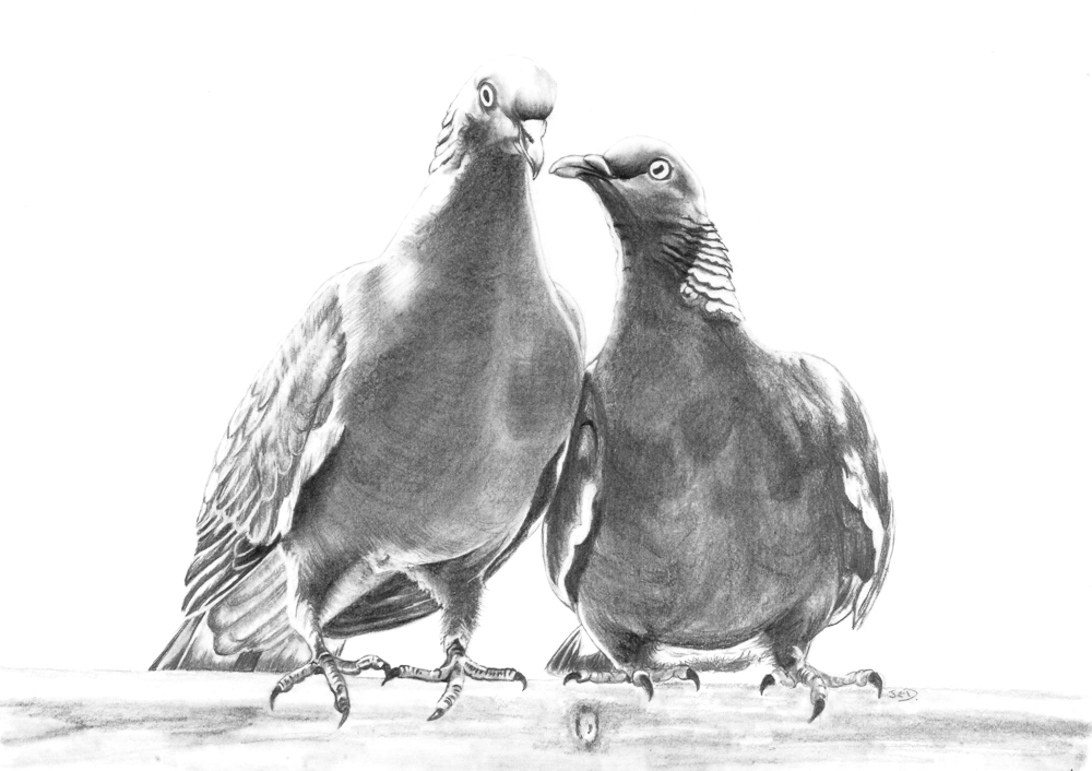 Pidgeons in love.7164