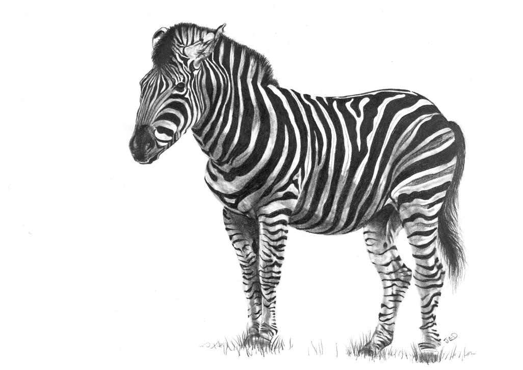 Zebra 2 - web